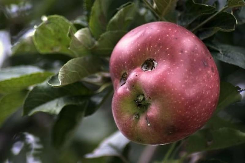 Яблуко-вбивця