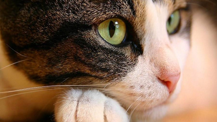 Очі коте