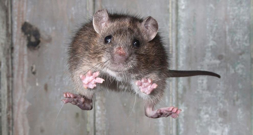 крыса, щур