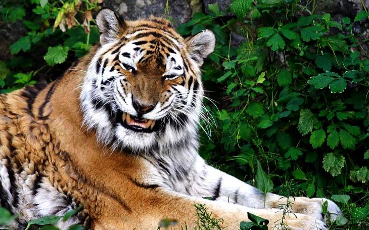 Посмішка тигра