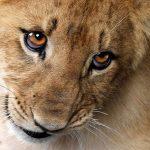 Посмішка лева