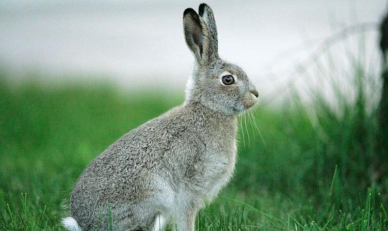 кролик в австралии