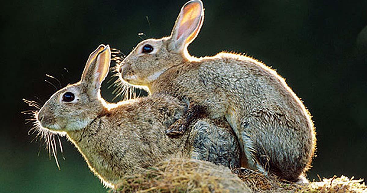 Кролики - Найсерйозніша екологічна помилка Австралії