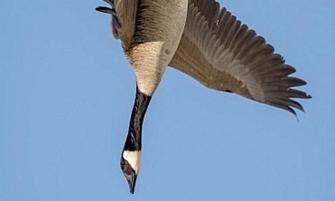 підстрелений гусак помстився мисливцеві