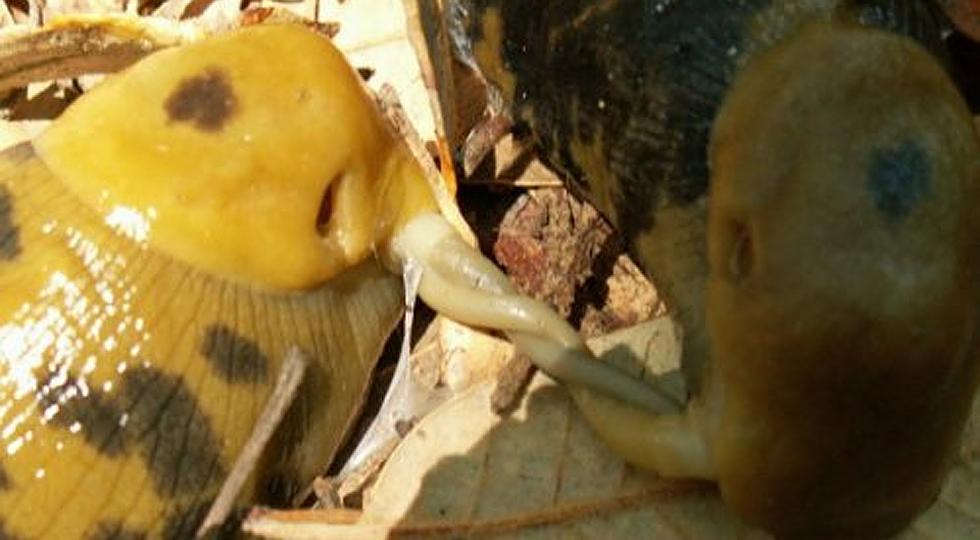 Бананові слимаки їдять пеніси один одного