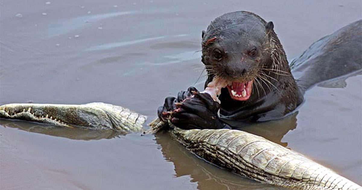 Цікаве відео: видра та крокодил